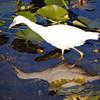 Description - Immature Little Blue Heron - White Phase <b>Title - Reflections</b> <i>- Esta Love</i>