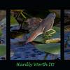 Description - Green Heron Catching Fish <b>Title - Hardly Worth It!</b> <i>- Don Mullaney</i>