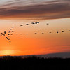Description - White Ibis At Sunset <b>Title - Ibis Flying to Roost</b> <i>- Fran Swirsky</i>