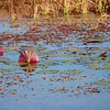 Description - Upturned White Water Lily Pads and Sawgrass <b>Title - Lily Pads</b> <i>- Esta Love</i>