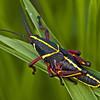 Description - Immature Lubber Grasshopper <b>Title - Painted Grasshopper</b> 3rd Place <i>- Ed Mattis</i>
