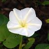 Description - Moonflower <b>Title - Open White</b> <i>- Ira Rosenthal</i></i>