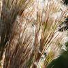 Description - Bushy Bluestem With Wind borne Seeds <b>Title - Harmony</b> <i>- Janet Robinson</i>