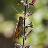Description - Short Horned Grasshopper On Penstemon <b>Title - Basking In the Bokeh</b> <i>- Debbie Tubridy</i>