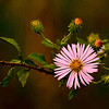 Description - Climbing Aster <b>Title - Pink</b> Honorable Mention <i>- Don Durfee</i>
