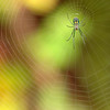 Description - Orchard Orb-Weaving Spider and Web <b>Title - Spider and Web</b> 1st Place <i>- Kathleen Fosselman</i>