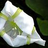Description - Moonflower <b>Title - Morning Splendor</b> Honorable Mention <i>- Myrna Rodkin</i>