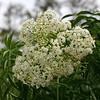 Description - Elderberry <b>Title - White Flower</b> <i>- Gene Sinnema</i>