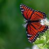 Description - Viceroy Butterfly <b>Title - Viceroy Butterfly</b> <i>- Ashley Machulak</i>