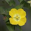 Description - Primrose Willow With Honey Bee <b>Title - Yellow Flower With Bee</b> <i>- Gene Sinnema</i>