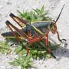Description - Immature Lubber Grasshopper <b>Title - Immature Lubber Grasshopper</b> <i>- Karl Andersson</i>