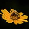 Description - Miniature World Leaf Beetle On (Invasive) Wedelia <b>Title - Miniature World</b> Best in Show <i>- Alan Crutcher</i>