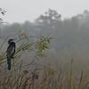 Description - Anhinga on Coastal Willow <b>Title - Misty Morning</b> <i>- Don Durfee</i>