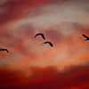 Description - White Ibis At Sunrise <b>Title - Morning Fly Out</b> <i>- Don Mullaney</i>