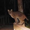 Description - Bobcat On Cypress Swamp Boardwalk <b>Title - Elusive</b> <i>- Alan Crutcher</i>