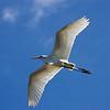 Description - Great Egret In Flight <b>Title - Into The Wild Blue</b> <i>- Alan Crutcher</i>