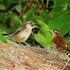 Description - Carolina Wren Feeding Dragonfly To Baby <b>Title - Carolina Wren Feeding Dragonfly To Baby</b> Honorable Mention <i>- Ruth Pannunzio</i>