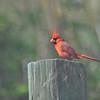 Description - Northern Cardinal <b>Title - Northern Cardinal</b> <i>- Bridget Lyons</i>