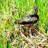 Description - Glossy Ibis <b>Title - Glossy Ibis on Nest</b> <i>- Burton Segelin</i>
