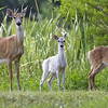 Description - White-tailed Deer <b>Title - Family Of Three</b> Honorable Mention <i>- Greg Matthews</i>