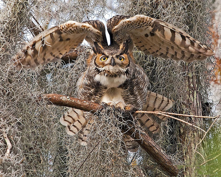 Description - Great Horned Owl <b>Title - Glaring Great Horned Owl</b> 1st Place <i>- Ed Mattis</i>