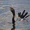 Description - Male Anhinga with Fish <b>Title - Down the Hatch</b> <i>- Chris Davell</i>