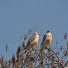 Description - Red-shouldered Hawks <b>Title - Hawks Mating</b> <i>- Bridget Lyons</i>
