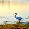 Description - Great Egret <b>Title - Great Egret feeding at sunset</b> <i>- Burton Segelin</i>