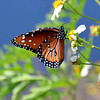 Description - Queen Butterfly on Spanish Needle <b>Title - Everybody Loves a Butterfly</b> <i>- Chris Davell</i>