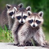 Description - Raccoons <b>Title - 3 Of A Kind</b> 3rd Place <i>- Mike Levine</i>