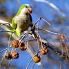 Description - Monk Parakeet <b>Title - Dinner Time</b> <i>- Ashley Machulak</i>