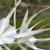 Description - White Spider Lily <b>Title - Whitie</b> 2nd Place <i>- Hali Klopman</i>