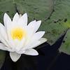 Description - White Water Lily <b>Title - White Water Lily</b> 1st Place <i>- Alex Edoff</i>