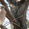 Description - Red-shouldered Hawk <b>Title - Red-shouldered Hawk</b> <i>- Alex Edoff</i>