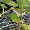 Description - Immature Purple Gallinule On Spatterdock <b>Title - Picture Please</b> Honorable Mention <i>- Jake Steiner</i>