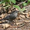 Description - Gray Catbird <b>Title - Tweet</b> <i>- Hali Klopman</i>