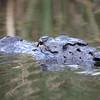 Description - Alligator <b>Title - Alligator</b> <i>- Alex Edoff</i>