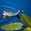Description - Purple Gallinule <b>Title - Purple Gallinule</b> <i>- Matthew Hebron</i>