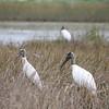 Description - Wood Storks <b>Title - Wood Storks</b> <i>- Alex Edoff</i>