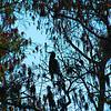 Description - Anhinga in Cypress Tree <b>Title - Silhouette</b> <i>- Ira Rosenthal</i>