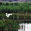 Description - Great Egret in Mosaic of Marsh <b>Title - Mosaic</b> <i>- Mark Robbins</i>