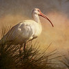 Description - White Ibis <b>Title - White Ibis</b> 3rd Place <i>- Kit Snider</i>
