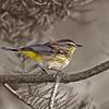 Description - Palm Warbler <b>Title - Palm Warbler</b> Honorable Mention <i>- Ed Mattis</i>