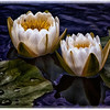 Description - White Water Lilies <b>Title - Water Lilies</b> 2nd Place <i>- Arthur Jacoby</i>