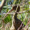 Description - Baby Limpkin  <b>Title - Camouflage!</b> <i>- Art Seidenberg</i>