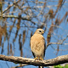 Description - Red-Shouldered Hawk <b>Title - Patiently Waiting</b> <i>- Janet Robinson</i>