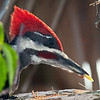 Description - Pileated Woodpecker  <b>Title - Pileated Woodpecker</b> Honorable Mention <i>- Ed Mattis</i>