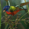Description - Painted Bunting  <b>Title - Breakfast</b> <i>- Bob Phillips</i>