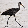 Description - Limpkin Crossing Road  <b>Title - Limpkin Crossing Road</b> <i>- Bridget Lyons</i>