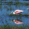 Description - Roseate Spoonbill and Reflection <b>Title - Spoonbill</b> <i>- Ira Rosenthal</i>